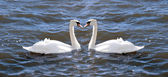 Two swans in love — Stock Photo