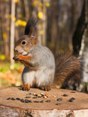 Red funny squirrel — Stock Photo