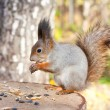 Red squirrel — Stock Photo #7371637