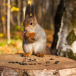 Red eurasian squirrel — Stock Photo #7449158