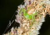 Misumenops tricuspidatus — Foto de Stock
