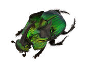 Rainbow Scarabs - Phanaeus demon — Stock Photo