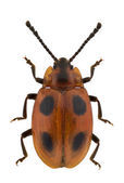 Endomychus coccineus — Photo