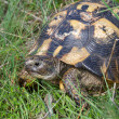 Stock Photo: Testudo graeca
