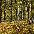 Beech forest — Stock Photo #7912709