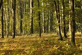 Buk lesní — Stock fotografie