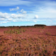 Stock Photo: Scottish fields of heather on a sunny day