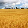 Stock Photo: Scenic rural landscape with fields of wheat