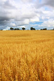 Scenic rural landscape with fields of wheat — Stock Photo