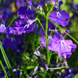 Blue lobelias in the garden, close up — Foto Stock