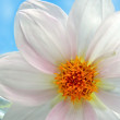 White dahlia close up — 图库照片