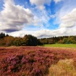 Scottish fields of heather on a sunny day — ストック写真