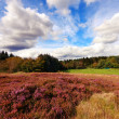 Scottish fields of heather on a sunny day — Stock Photo