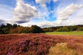 晴れた日にヒースのスコットランドのフィールド — ストック写真