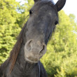 Stock Photo: Curios horse