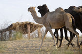Indian camels walk in the desert — Stock Photo