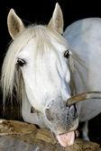 Thirsty horse — Stock Photo