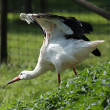 White stork — Stock Photo #7385022