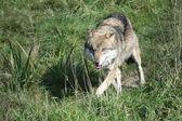 Wolf running — Stock Photo