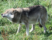 Wolf or Canis Lupus — Stock Photo