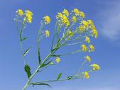 Flores crucífera amarillo — Foto de Stock