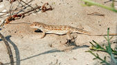 Lizard on the sand — Stock Photo