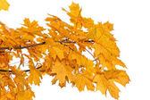 Yellow maple leaves isolated — Stock Photo