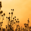 Stock Photo: Silhouettes of teasel flowers