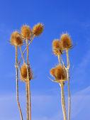 Dried teasel flowers — Stock Photo