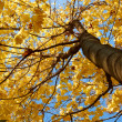 Maple tree crown — Stockfoto