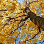 Maple tree crown — Stock Photo