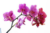 Beautiful pink orchid isolated on white background — Stock Photo