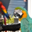 Green Macaw — Stock Photo