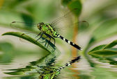 Dragonfly reflections — Stock Photo