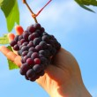 Hand holding grape clusters against blue sky — Stock Photo #7222305
