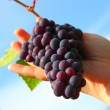 Hand holding grape clusters against blue sky — Stock Photo #7222309