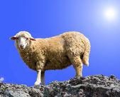 Ovce je jíst trávu na krásné hoře — Stock fotografie