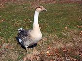 A wild goose feeding in the park — Stock Photo