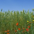 Nature, spring flowers growing in wheat field — 图库照片