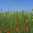 Stock Photo: Nature, spring flowers growing in wheat field