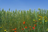 Nature, spring flowers growing in wheat field — Stock Photo