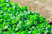 Col jardín vegetal — Foto de Stock