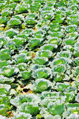 Green cabbage in rows growing on field — ストック写真
