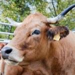 Portrait of the cow — Stock Photo