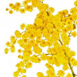 Blossoming branch of a mimosa — Stock Photo
