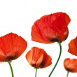 Red poppies after a rain, it is isolated on white — Stockfoto