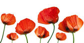 Red poppies after a rain, it is isolated on white — Stock Photo