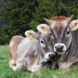 Alpine cow with calf - Stock Photo