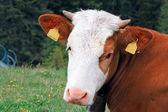 Sad brown-white cow — Stock Photo