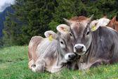 Alpine cow with calf — Stock Photo